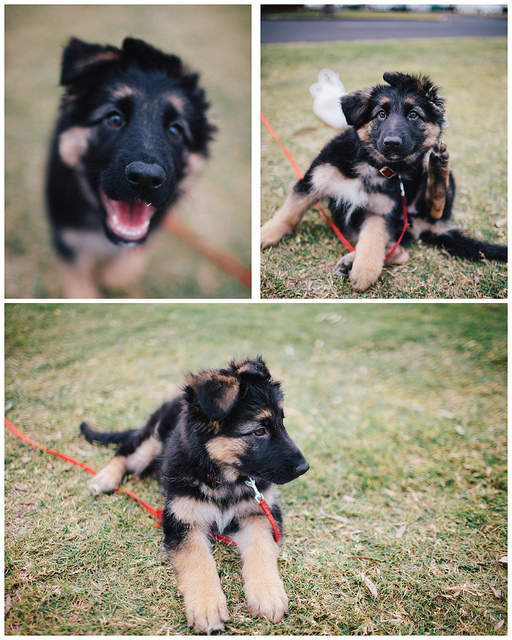 Charlie the German Shepherd Pup  on Flickr.