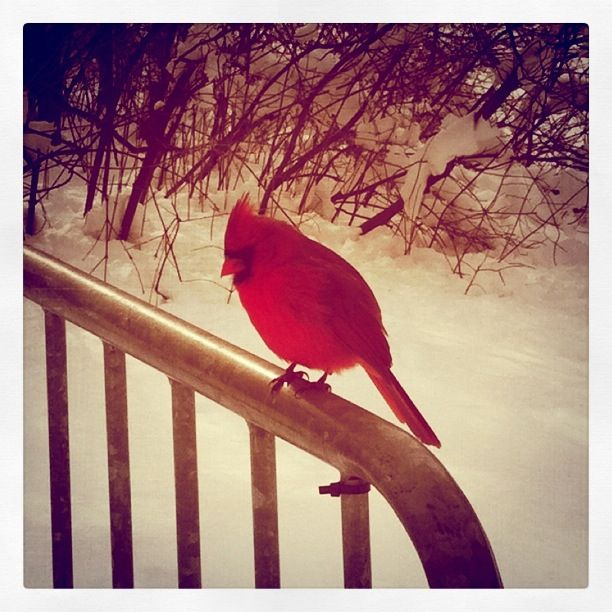 I took this picture of a cardinal in Central Park while out for a stroll in the snow.