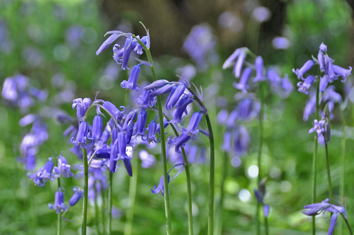 bluebells DriverLayer Search Engine