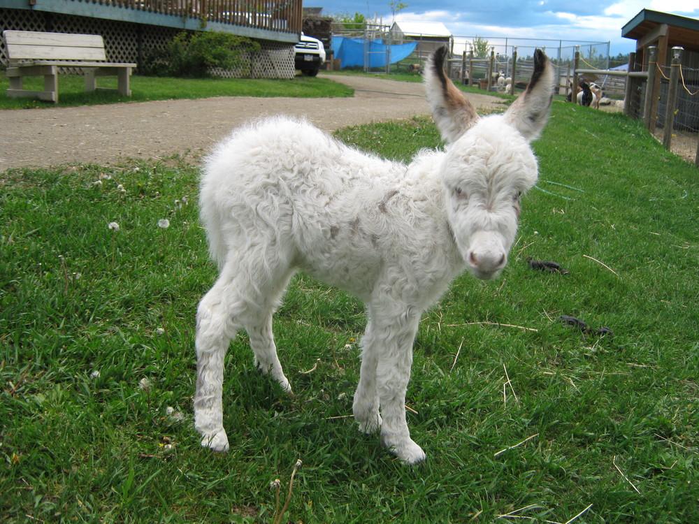mini_donkey_ 6.jpg