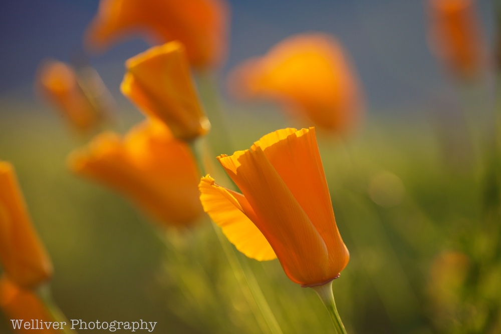 Front Yard, Spreckels: Poppies by Beth.