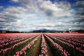 Skagit_Tulips.jpg