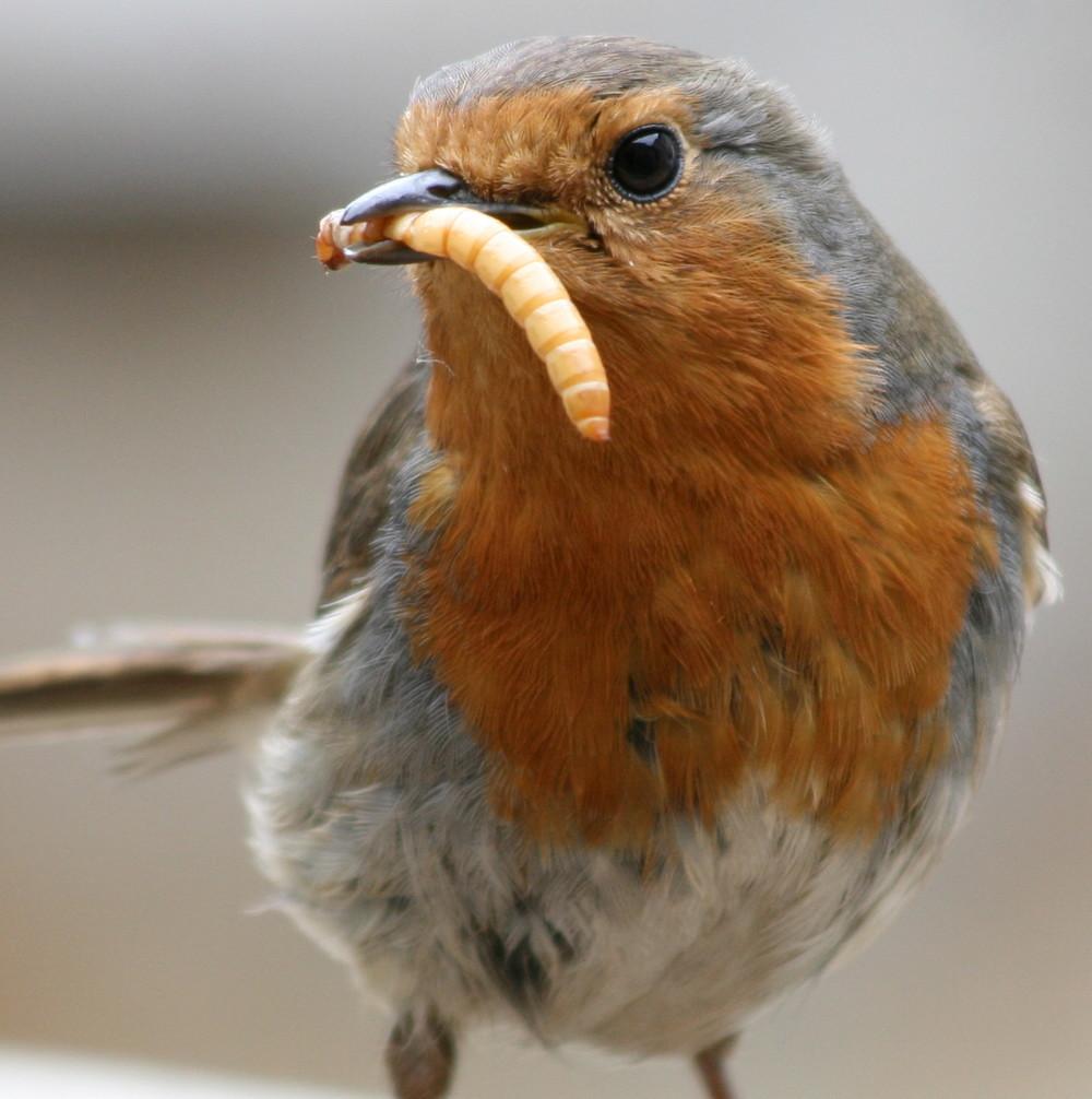 European_Robin_(Erithacus_rubecula)_with_mealworm.jpeg