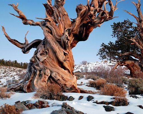 An ancient tree in California