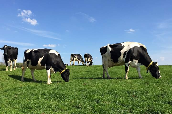Kingarth Dairy Cows