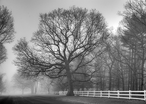 Majestic Oak by Leonard Hellerman