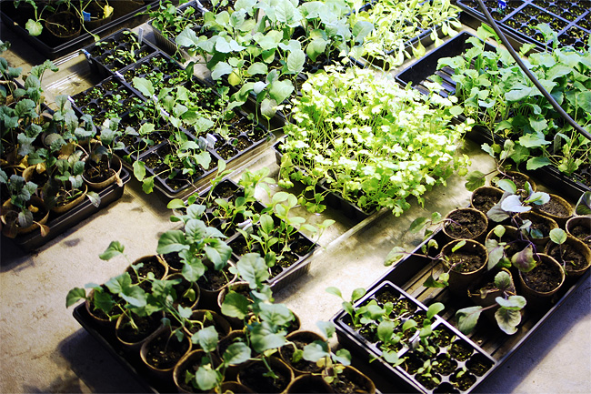 Seedlings under grow lights.