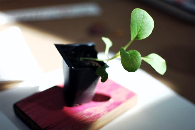 A bok choy seedling.