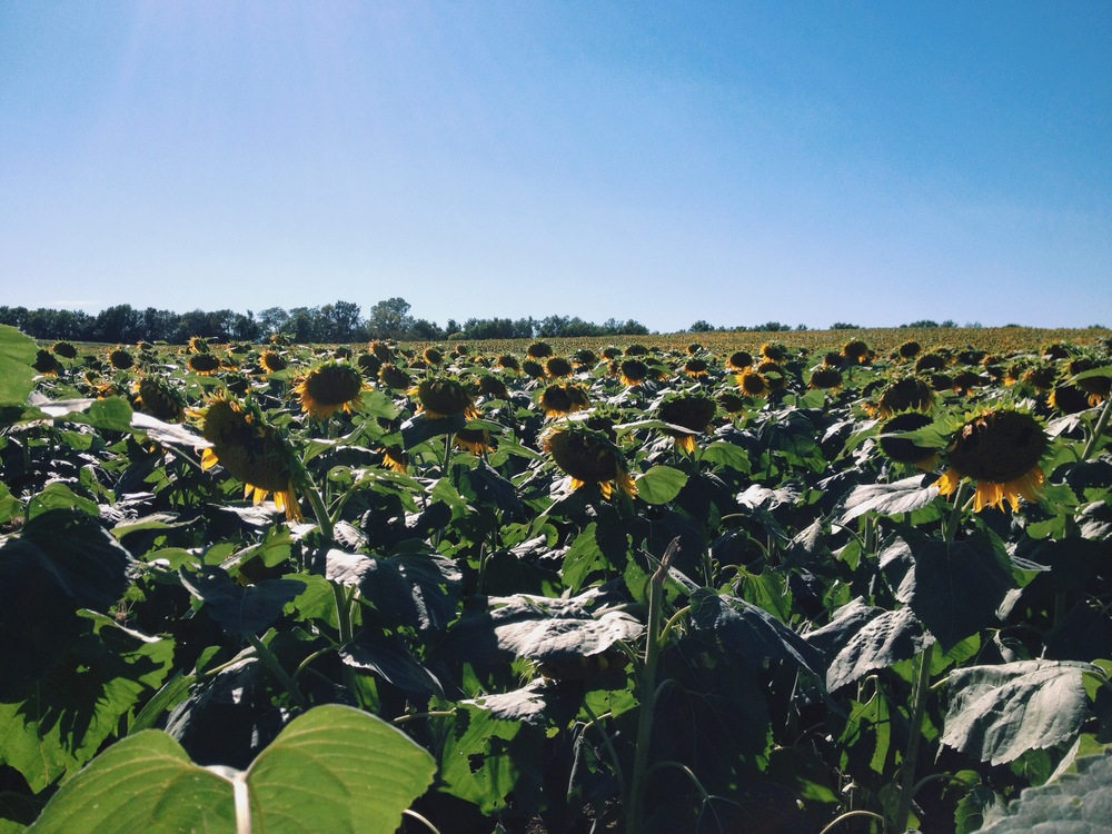 ©HeatherSmithJones_sunflowers