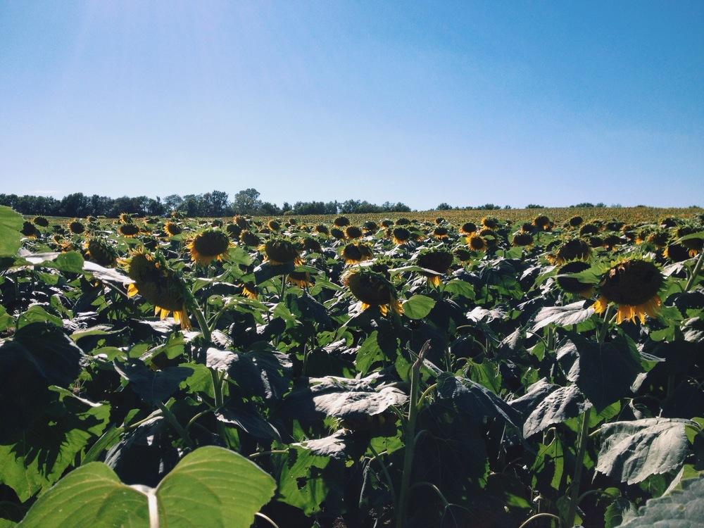 ©HeatherSmithJones_sunflowers