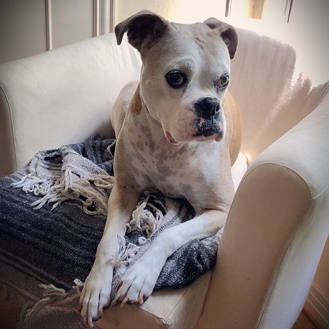 Happy Dog Day from Stella!!!❤️🐶 #boxersofinstagram #electriceyedallas #electriceyeoakcliff