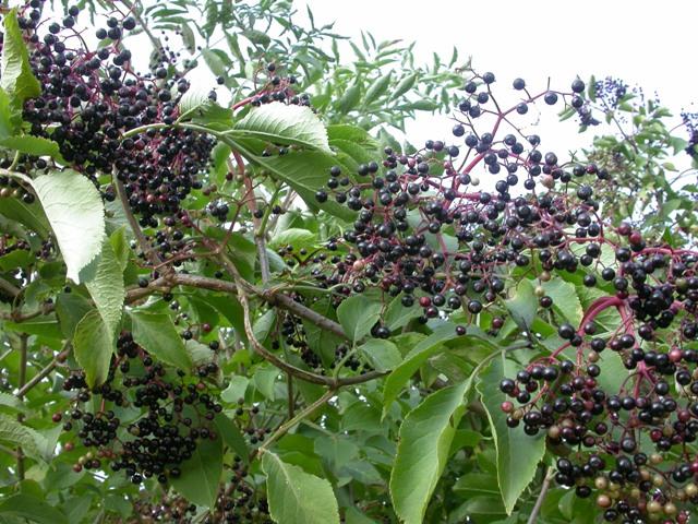 Hyldebærsaft