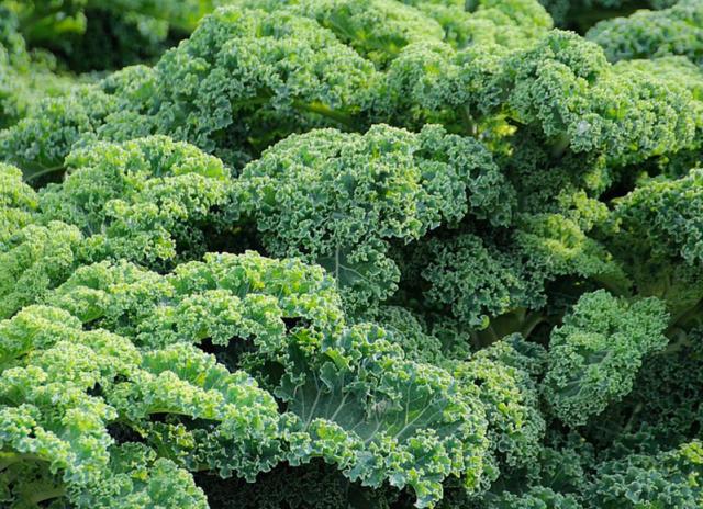 Månedens proteinrige råvare - grønkål
