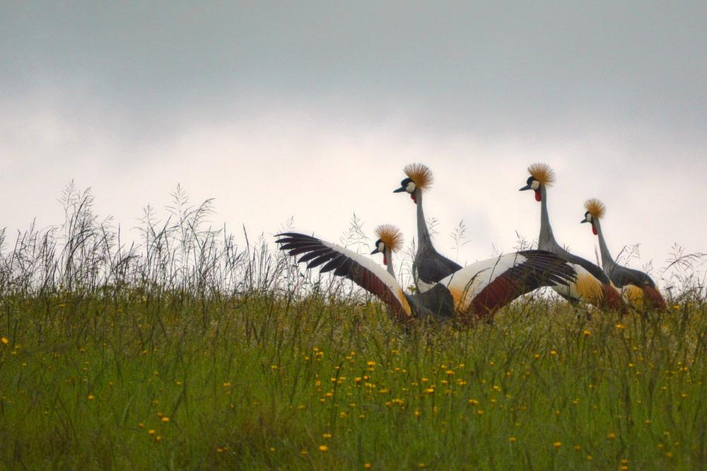 blue-cranes.jpg