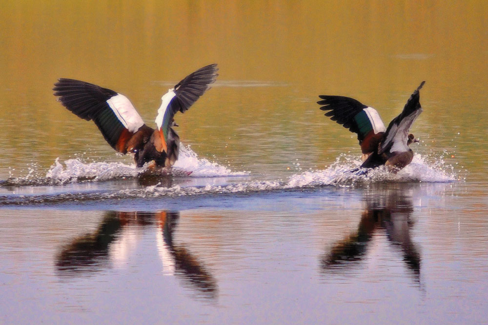 ducks-landing-on-water.jpg