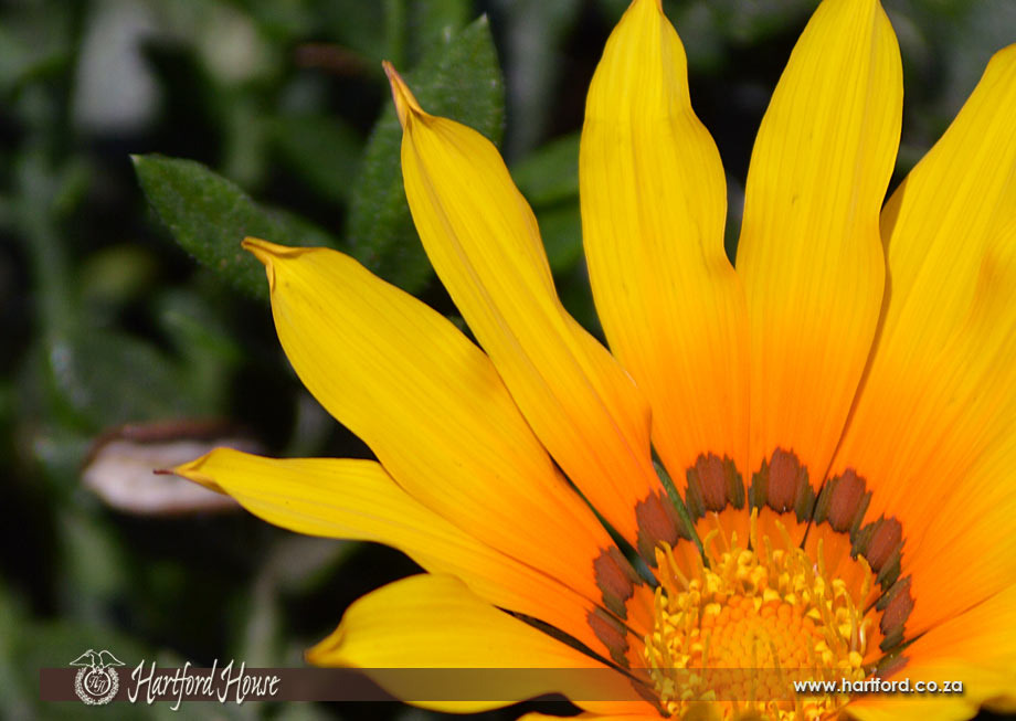 KZN Midlands Spring Flowers 24