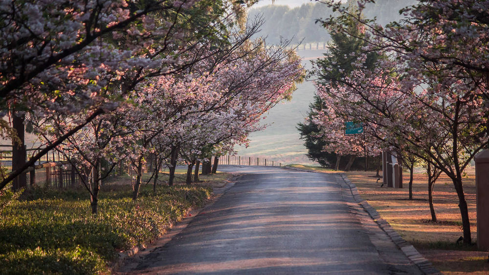 Spring Cherry Blossoms in the KZN Midlands