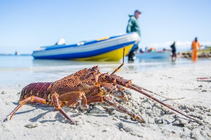 SASSI Crab