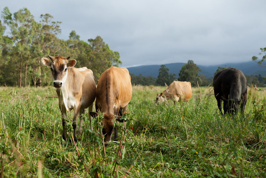Resident Cows