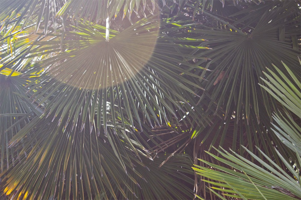 Layers of sunny palm fronds