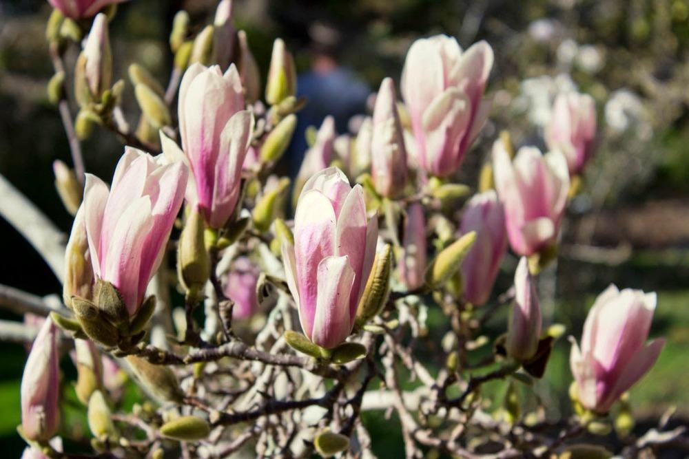 Magnolia blossoms!
