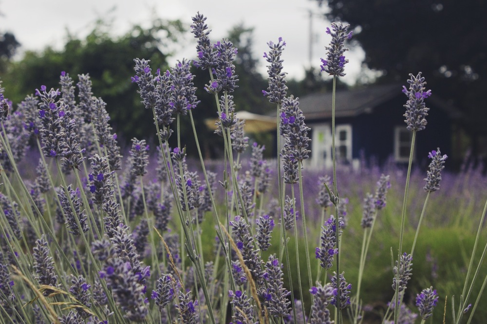 Sauvie Island Lavender Farm by Eva Moon Press