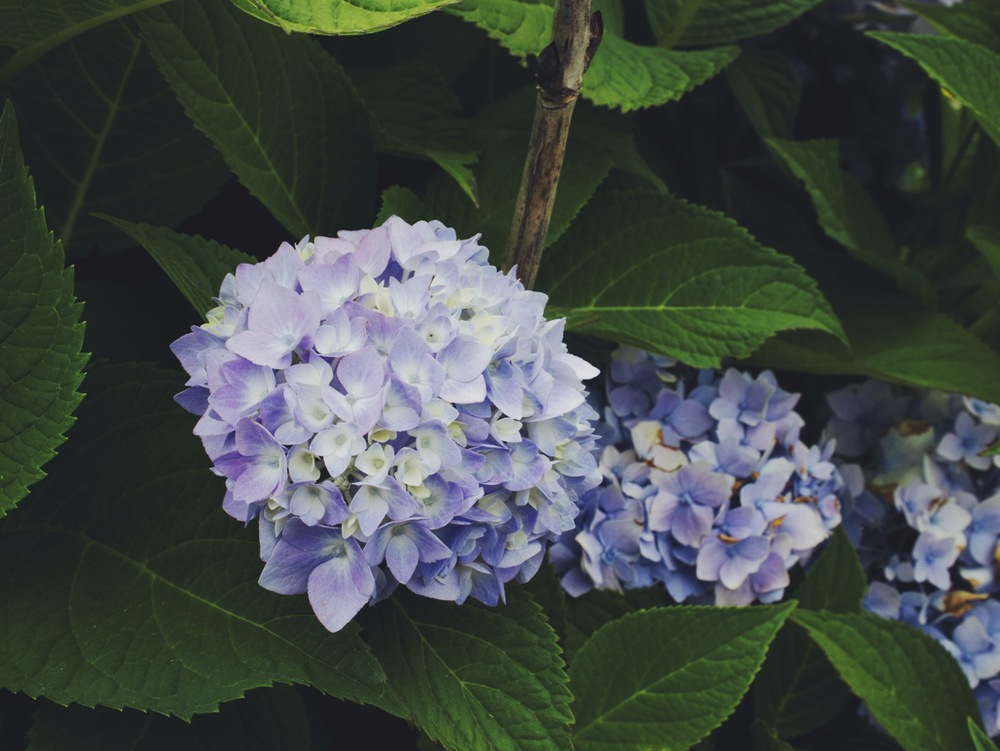 Blue Hydrangea at Sauvie Island Farms by Eva Moon Press