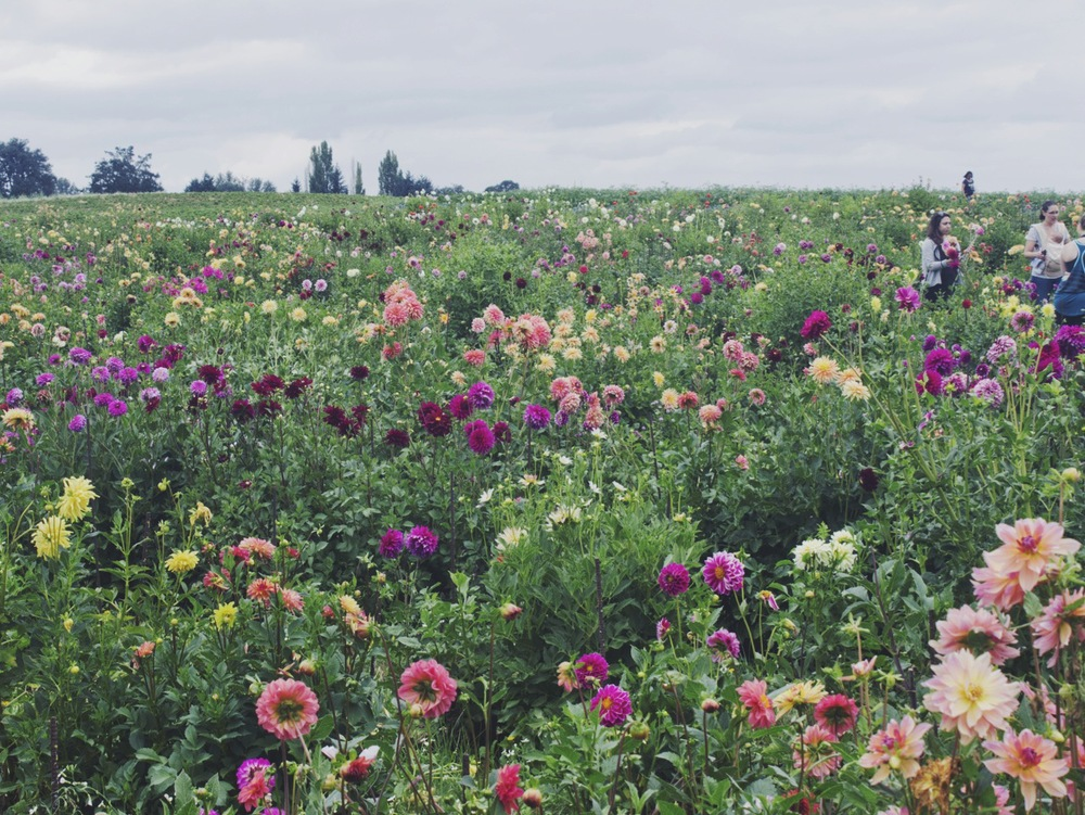 Dahlia Hill at Sauvie Island Farms by Eva Moon Press