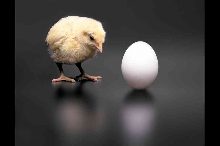 Chickens be like: I was here first.