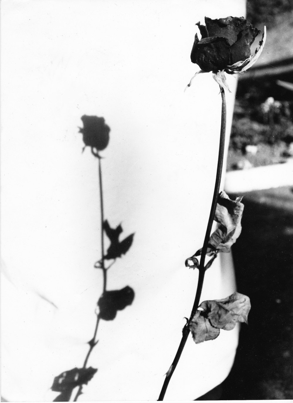 A dead rose. From the original promotional artwork. Photo by Torben Tilly