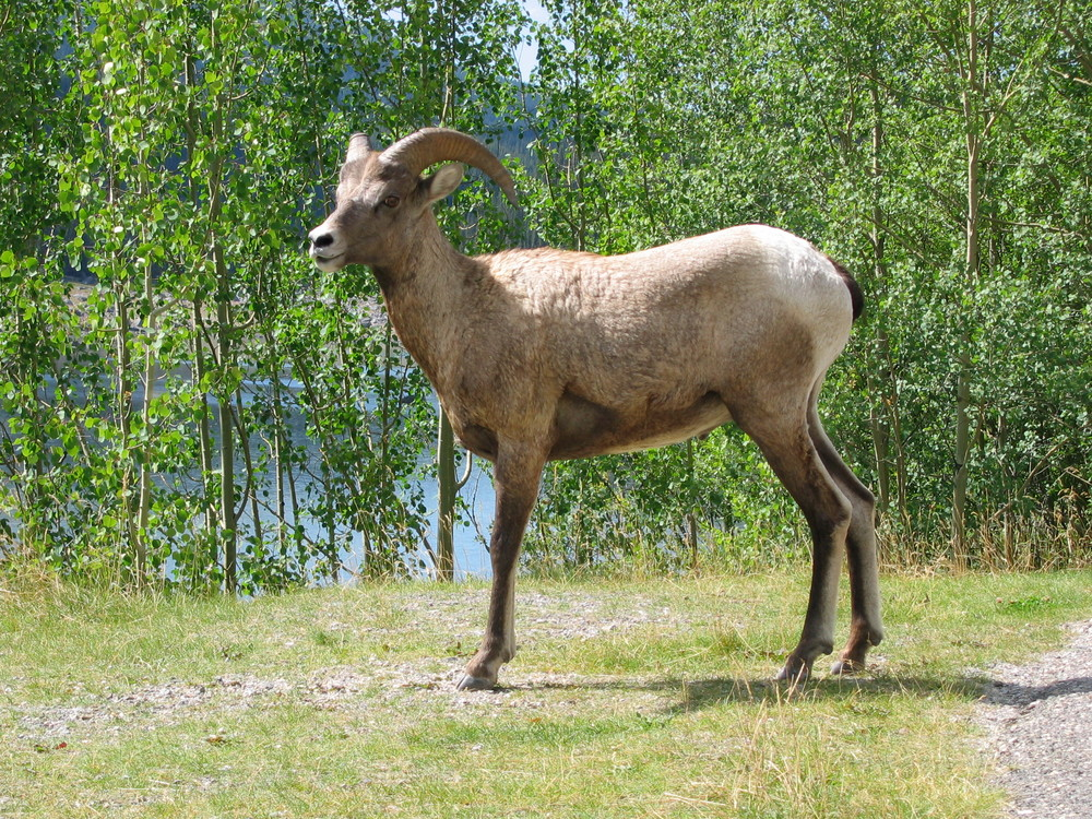 This is one of many big horn sheep we encountered. Lots of elk, too, and a few bears – one of whom appeared on our hiking trail and gave us a scare. You THINK you want to see bears on a trip like this – until you stumble upon one looking at you from not very far away.