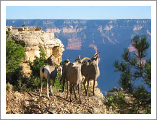 Mountain goats in the canyon!! Very cool!