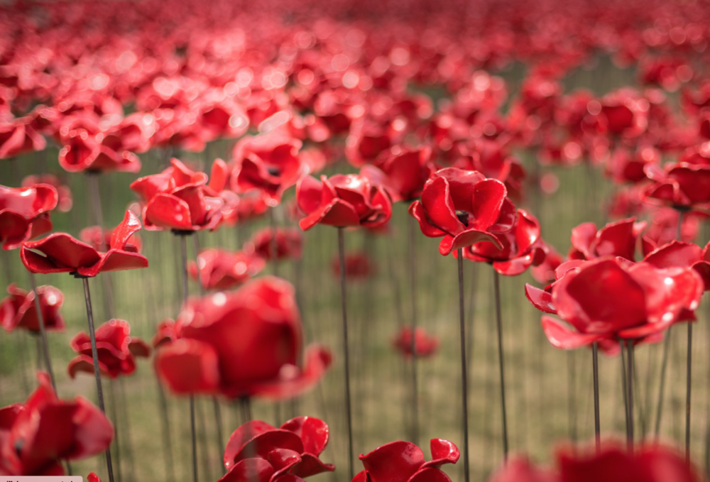 14-18 Now bring Wave and Weeping Window Poppies to Lincoln
