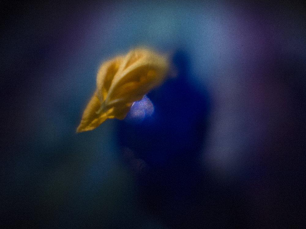 Squash Blossom in Blue Vase