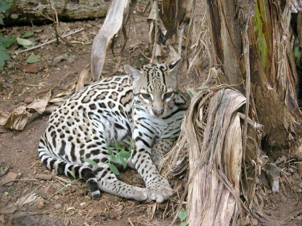Costa Rica bobcat.jpg