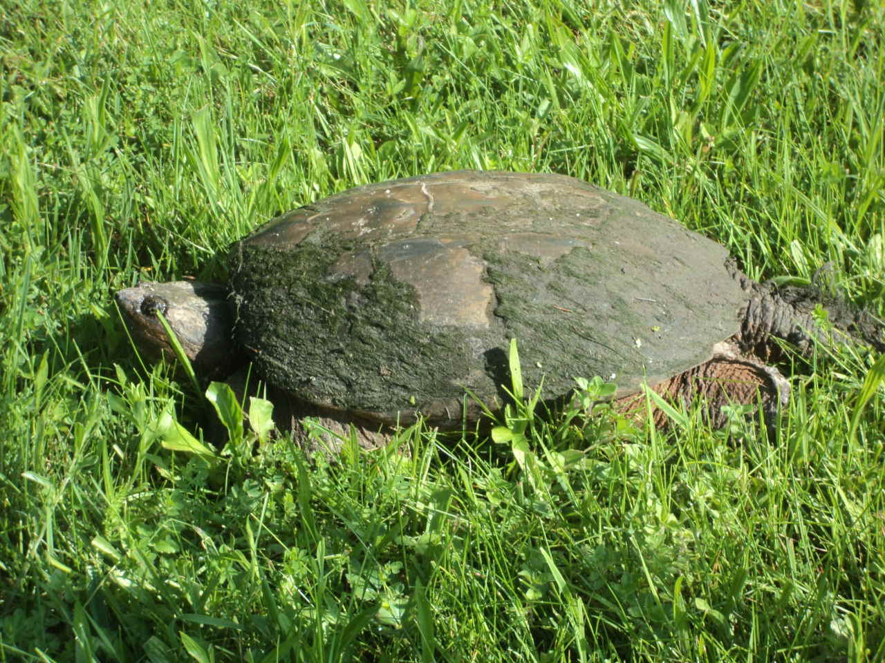 Summer at Pine River: Every June at Pine River, turtles emerge from our large pond and climb the steep grassy hill to find a spot to dig and lay their eggs under ground.  Students spotted this turtle searching for a suitable spot to lay her eggs.  We have been monitoring the area eagerly waiting for her babies to hatch and crawl the long journey back to the pond.