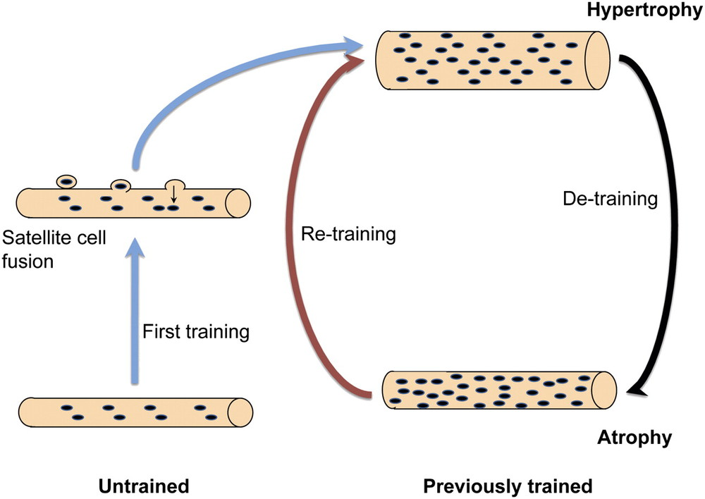 The detraining and retraining effects with respect to hypertrophy.