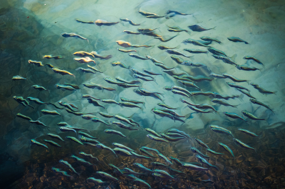 School of Menhaden