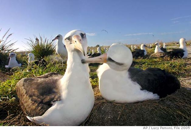 "Laysan albatross or ""gooney birds"". Photo from: http://ww4.hdnux.com/photos/11/03/61/2374743/7/628x471.jpg"