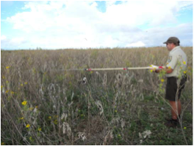 Figure 6a. Field biologist sampling verbesina-infested plot in an area that has not yet been treated compared to a treated area (Figure 6b).