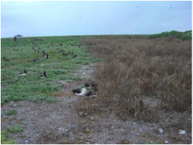 Figure 5. Albatross chick density is lower in verbesina infested area (right) compared to non-infested area (left)