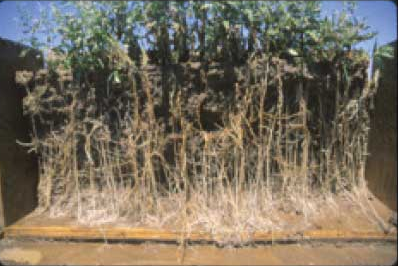 Canada thistle plants have extensive spreading roots that rapidly form dense colonies. Photo by Dr. Phil Westra, Colorado State University.
