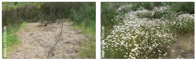 Nonselective herbicide   (glyphosate) applied to Scotch broom ( Cytisus scoparius ) resulted in injury to desirable grasses (left) shown 45 days following application.  Removal of grass competition by glyphosate allowed for invasion of oxeye daisy  ( Leucanthemum vulgare ), another invasive plant, 416 days after application (right).
