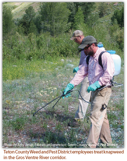 Photo by Amy Jerup, Education Supervisor, Teton County Weed & Pest District    Teton County Weed and Pest District employees treat knapweed in the Gros Ventre River corridor.