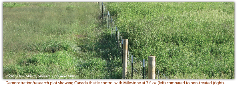Demonstration/research plot showing Canada thistle control with Milestone at 7 fl oz (left) compared to non-treated (right).