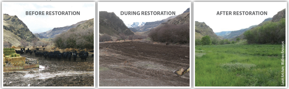 Progress on restoration efforts on the Magpie Ranch in the Lower Imnaha Canyon. This project is the result of a determined land manager (Mike Hale) who found resources in the WCP program to restore a river bar feedlot to a productive seasonal pasture for both cattle and wildlife.