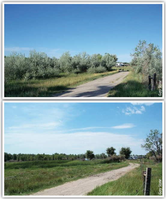 Before (top) and after photos where Russian olive trees were removed. Maintaining a desirable grass understory reduces invasion of weedy plants, provides protects soil from erosion, improves wildlife habitat and provides livestock grazing.
