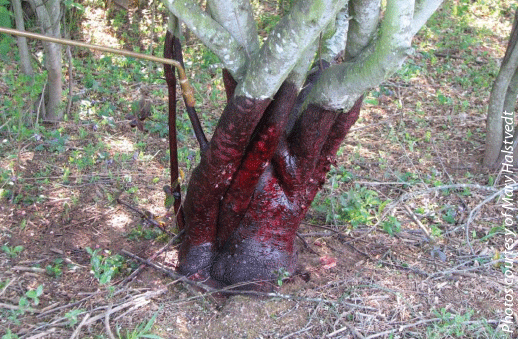 Figure 4. Low volume basal bark applications can be used on trees with stems up to but not greater than 6 inches in diameter. Spray around the circumference of the trunk at a height of about 12 to 15 inches  until wet, all the way around the main stem to the groundline, but not to the point of runoff or puddling.