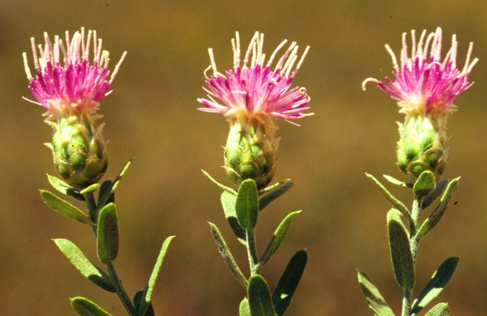 Russian knapweed flowers. Photo by Steve Dewey.