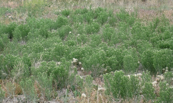 Dense monocultures of Russian knapweed reduce desirable vegetation through a combination of competition and allelopathy.   Photo BY La Plata County, colorado.